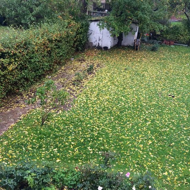 Våd have fuld af gule askeblade. Heldigvis formulder de lyn hurtigt, så jeg gider ikke finde riven frem ?? #haveliv