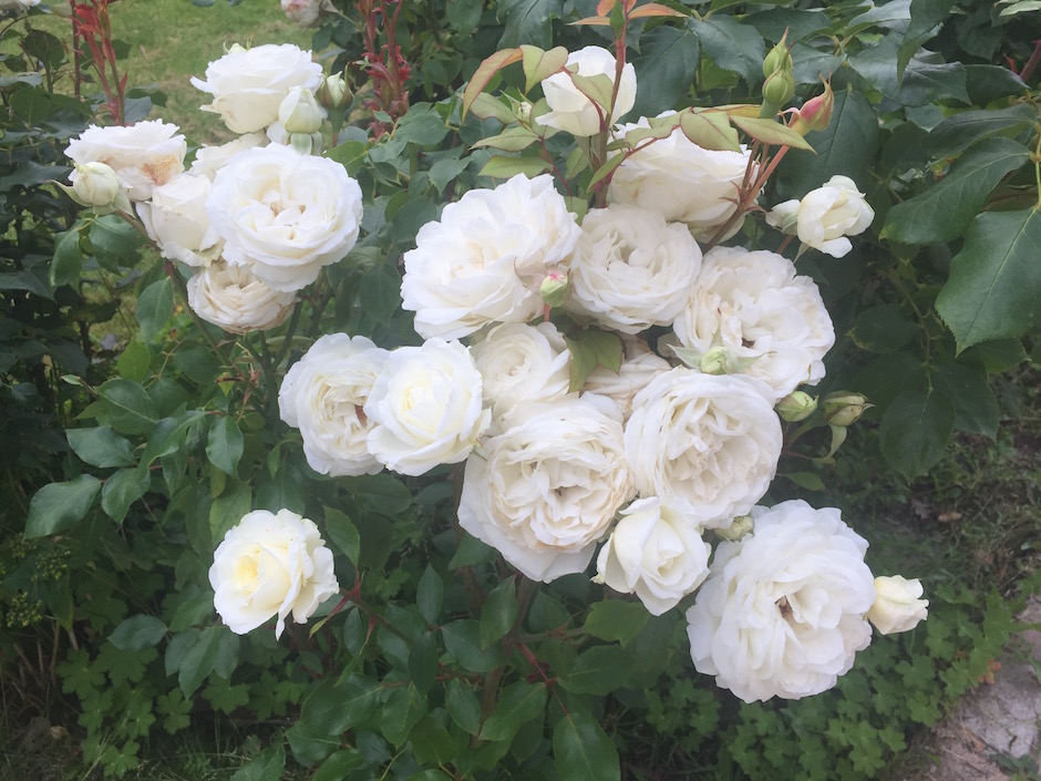 claus-dalby-rose
