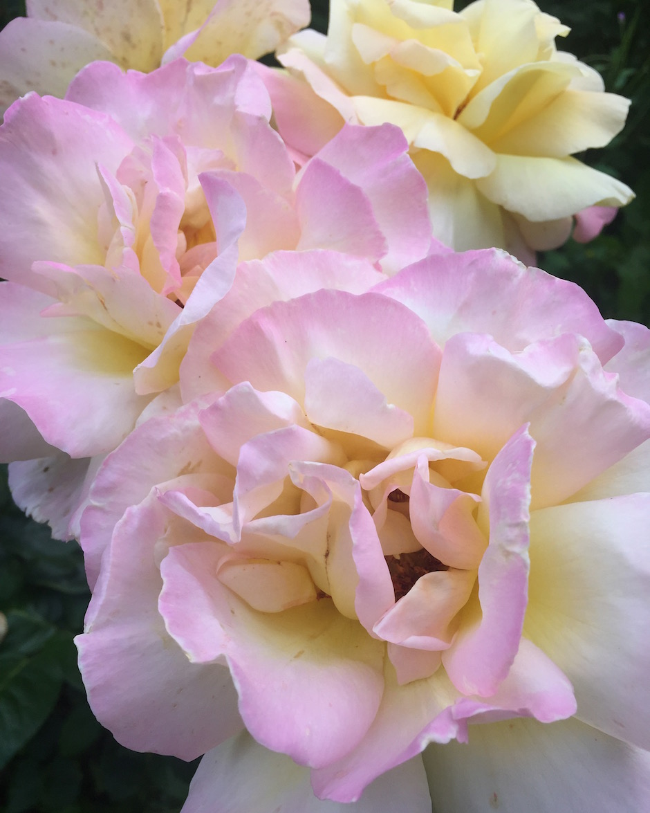 peace-rose