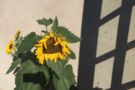 sikke-en-solsikke