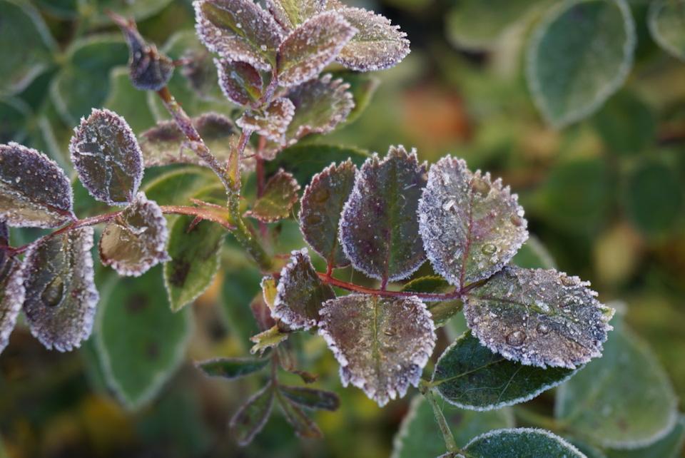 kolde-roser